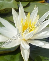 nymphaea-virginiana