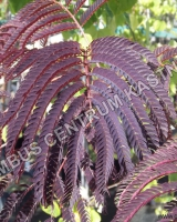 albizia-julibrissin-summer-chocolate