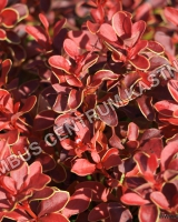 berberis-thunbergii-admiration