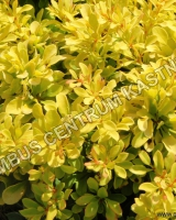 berberis-thunbergii-golden-rocket