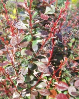 berberis-thunbergii-rose-raket