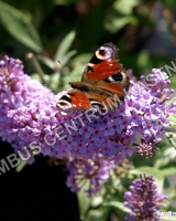 buddleja-buzz-sky-blue