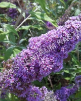 buddleja-davidii-camberwell-beauty