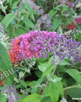 buddleja-davidii-flower-power
