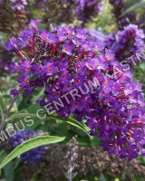 buddleja-davidii-nanho-purple