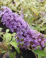 buddleja-davidii-purple-emperor