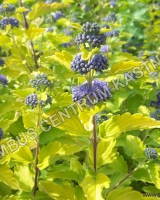 caryopteris-clandonensis-hint-of-gold