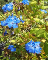 ceratostigma-willmottianum-forest-blue