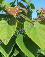 cercis-canadensis-ace-of-hearts