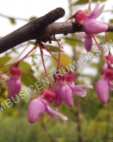 cercis-canadensis-cascading-hearts