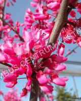 cercis-canadensis-forest-pansy-kvet