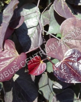 cercis-canadensis-ruby-falls