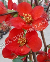 chaenomeles-superba-fascination
