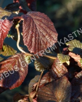 corylus-avellana-red-majestic
