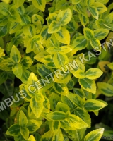 euonymus-fortunei-emeraldn-gold
