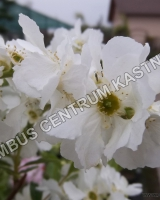 exochorda-magical-springtime