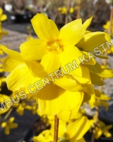forsythia-intermedia-gold-rausch