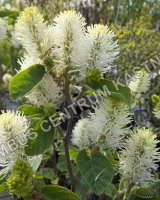 fothergilla-major-blue-shadow