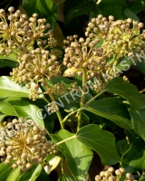 hedera-colchica-fall-favourite