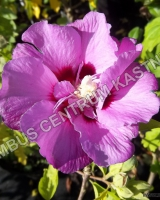 hibiscus-syriacus-eruption