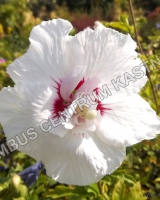 hibiscus-syriacus-french-point