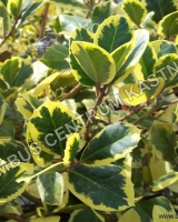ilex-altaclerensis-golden-king