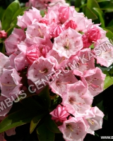 kalmia-latifolia-little-linda