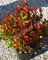 leucothoe-axillaris-little-flames