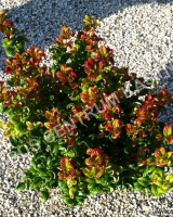 leucothoe-axillaris-twisting-red