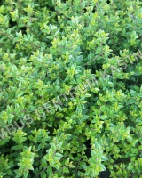 lonicera-nitida-tidy-tips