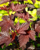 physocarpus-opulifolius-lady-in-red