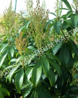 pieris-japonica-bonfire