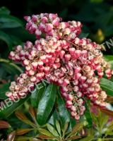 pieris-japonica-passion