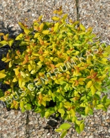 spiraea-japonica-golden-princess-habitus