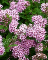 spiraea-japonica-little-princess