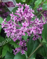 syringa-bloomerang-dark-purple
