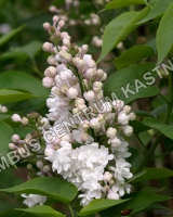 syringa-vulgaris-beauty-of-moscow
