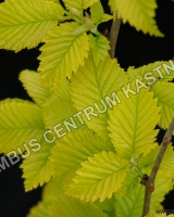 ulmus-hollandica-wredei-1