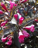 weigela-florida-naomi-campbell