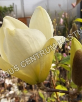 magnolia-denudata-yellow-river