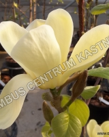 magnolia-golden-sun