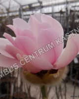 magnolia-pink-beauty
