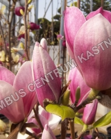 magnolia-satisfaction-2