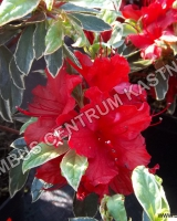 azalea-japonica-hot-shot-variegated