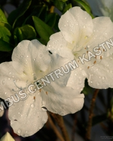 azalea-japonica-mount-everest