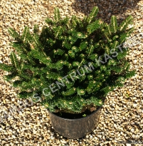 Abies koreana 'Alpin Star'