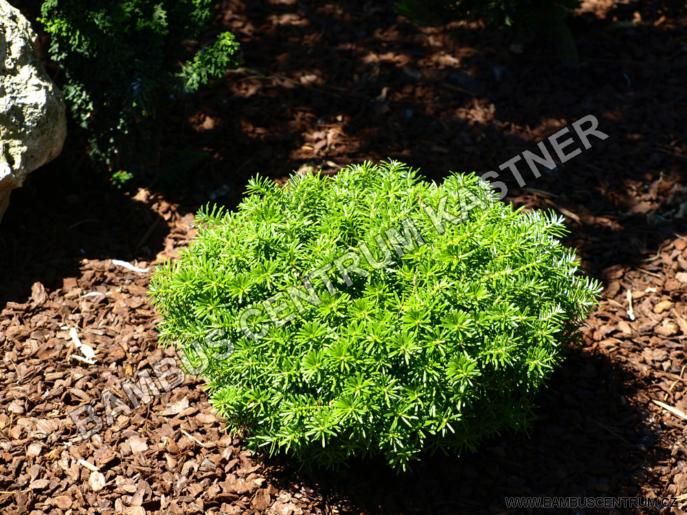 Abies koreana 'Cis'
