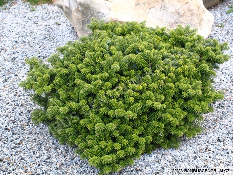 Abies koreana 'Cis' – Jedle korejská