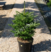Abies koreana 'Molly'