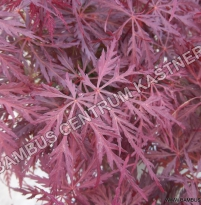 Acer palmatum Fire Cracker